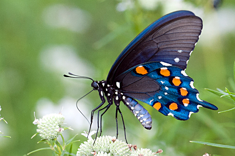 Pipevine Swallowtail by dwest42 on DeviantArt |Pipevine Swallowtail Butterfly